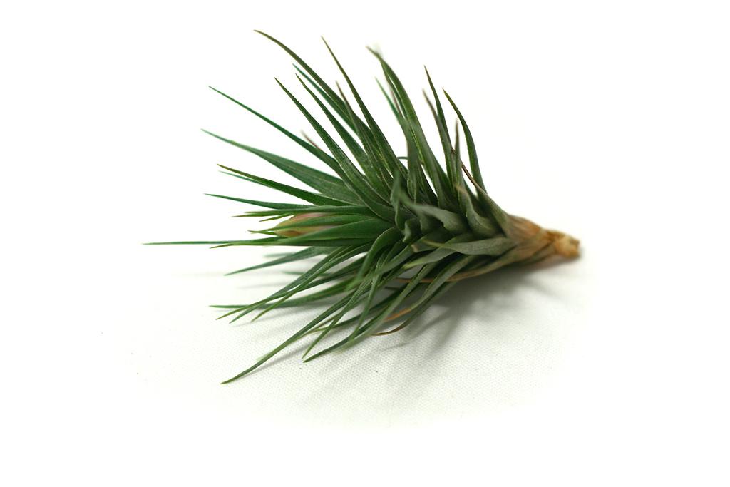Tillandsia-tenuifolia