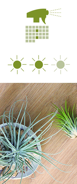 luftpflanzen-tillandsien-pflege
