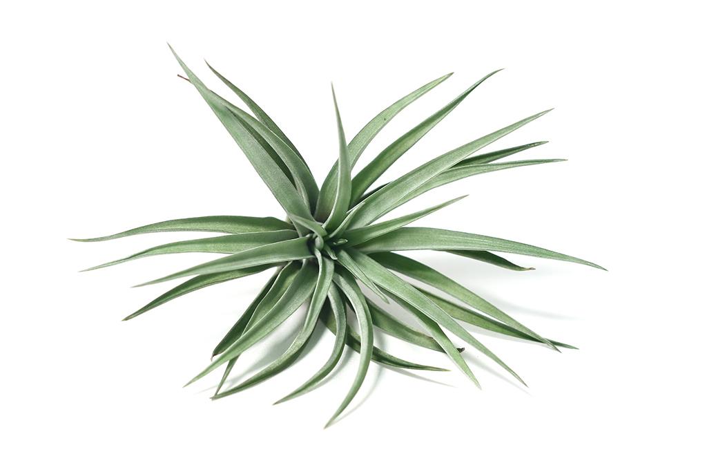Tillandsien Luftpflanzen Misuki